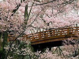 ponte di legno tra i ciliegi in fiore