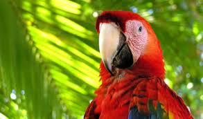 pappagallo del Costa Rica