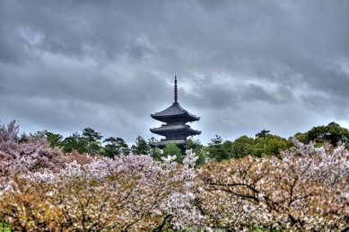 Blossoming Cherry trees Kyoto