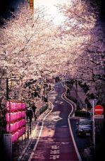 Sakurabana
