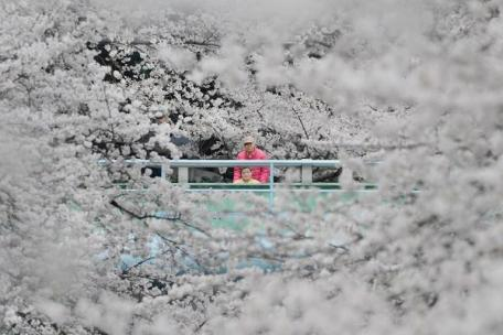 People look at cherry blossoms in full bloom in Tokyo on March 24, 2013. Tokyo's cherry blossom trees were in full bloom on March 22, Japan's weather agency said, marking the second earliest blossoming in the capital on record. TOPSHOTS AFP PHOTO/Toru YAMANAKA